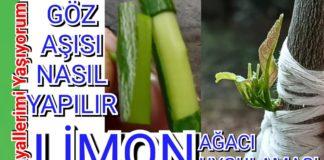 Limon Aşısı Ne Zaman Yapılır? - Pratik Bilgiler - bahçede limon ağacı evde limon ağacı limon ağacı limon ağacı aşısı matkapla limon aşısı