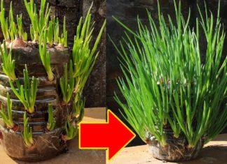 Pet Şişede Soğan Nasıl Yetiştirilir? - Pratik Bilgiler - filizlenmiş soğan ekilirmi pet şişede soğan pet şişede soğan dikimi saksıda soğan suda soğan yetiştirme