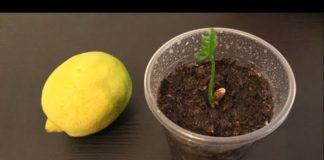 Limon Çekirdeği Çimlendirme - Hobi Dünyası Kendin Yap Pratik Bilgiler - limon çekirdeği limon çekirdeği çimlendirme okul öncesi limon çekirdeği çimlendirme süresi saksıda limon çekirdeği filizlendirme