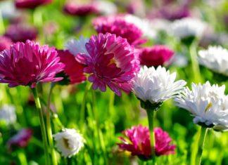 Kasımpatı Nasıl Canlandırılır? - Dekorasyon Fikirleri Pratik Bilgiler - kasımpatı çiçeği özellikleri kasımpatı nasıl çiçek açtırılır kasımpatı tohumu nasıl elde edilir krizantem çiçeği kuruyan kasımpatı nasıl canlandırılır