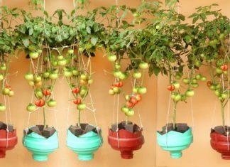 Evde Domates Biber Nasıl Yetiştirilir? - Kendin Yap - evde domates ağacı nasıl yetiştirilir evde domates ekimi evde domates yetiştirme tarzı kışın evde domates yetiştirme saksıda domates yetiştirme aşamaları saksıda domates yetiştirmek