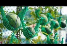 Saksıda Karpuz Nasıl Yetiştirilir? - Pratik Bilgiler - evde yetişen bitkiler karpuz nasıl yetiştirilir saksıda karpuz nasıl ekilir saksıda kavun saksıda kavun karpuz yetiştirme